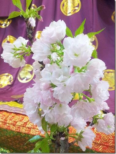 可愛い盆栽桜