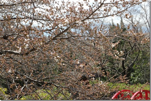 神の湯温泉桜