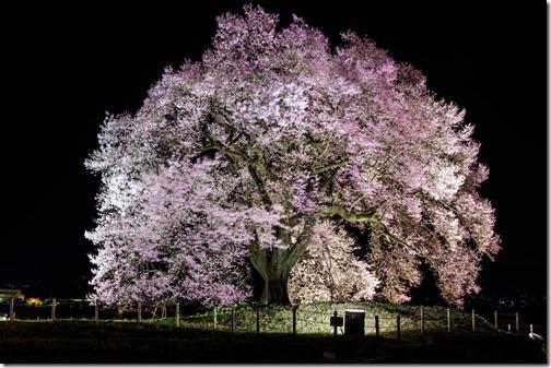 わに塚の桜ライトアップ